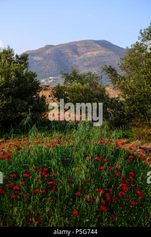 Red Poppies in Summer with mountains, Lagonisi, East Attica, Greece. - Stock Image