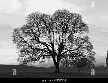 Monochrome image of oak tree in winter with sheep. Castle Green, Kendal, Cumbria, England, United Kingdom, Europe. - Stock Image