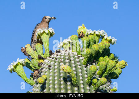 A male Gila Woodpecker (Melanerpes uropygialis) perched on the flower buds of a Saguaro (Carnegiea gigantea) with a honey bee that he caught, that he  - Stock Image