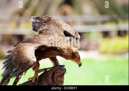 golden eagle on perch with wings spread - Stock Image