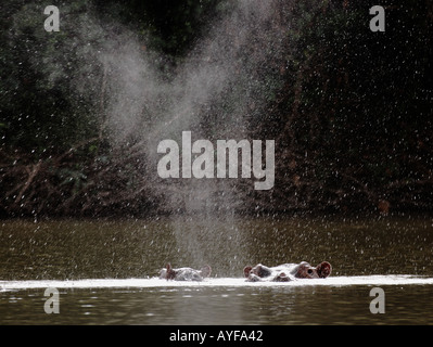 Hippopotamus exhales in the Black Volta River Northwestern Ghana - Stock Image