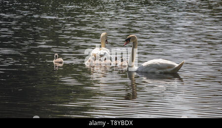 Mute Swans with cygnets - Stock Image