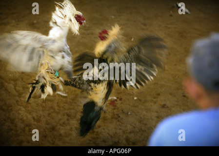 Two fighting birds face off in a cockfight at a cockhouse in rural Oriental Mindoro, Philippines. - Stock Image