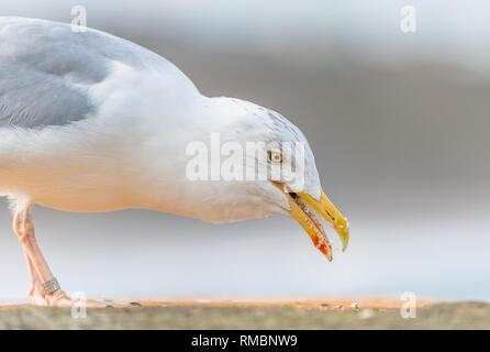 Juvenile Herring Gull eating biscuit crumbs. - Stock Image