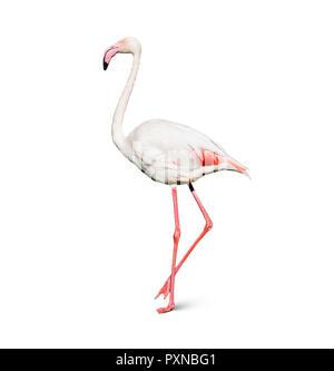 flamingo isolated on white background - Stock Image