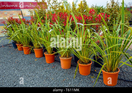 A row of potted evergreen shrubs Phorium tenax variegata for sale in a Garden Centre - Stock Image