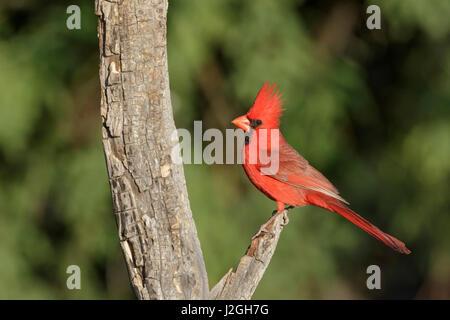 USA, Arizona, Amado. Male northern cardinal on dead tree. Credit as: Wendy Kaveney / Jaynes Gallery / DanitaDelimont.com - Stock Image