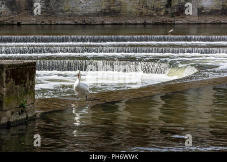 A mute swan standing in the shallow water on top of Pulteney Weir in Bath - Stock Image