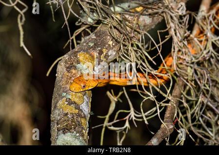 Perched Yellow Rat Snake Jr - Stock Image