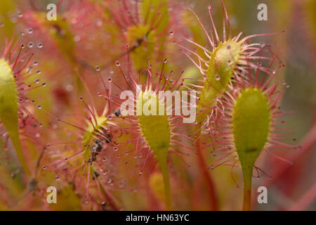 Oblong-leaved sundew (Drosera intermedia), an insectivorous plant of peat bogs, on the isle of Skye, Scotland. June. - Stock Image