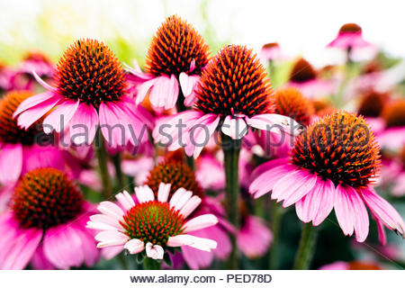Echinacea flowers, UK. Coneflower garden plant. - Stock Image