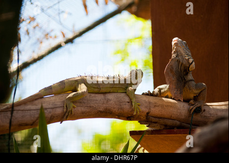 lizards on a tree branch with cool pose - Stock Image