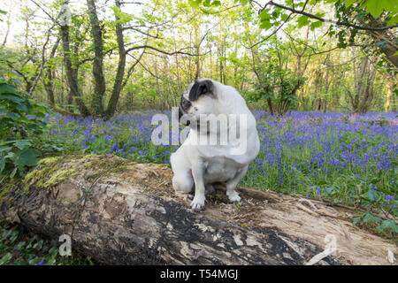 Titan the Pug sitting on a log in a bluebell wood in full bloom - Stock Image