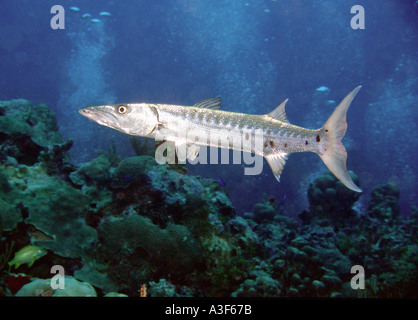 underwater, Barracuda, cayman islands - Stock Image