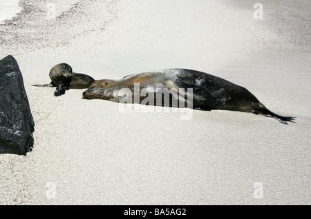 Sleeping Galapagos Sea Lion and Pup, Zalophus wollebaeki, Espanola Island, Galapagos Archipelago, Ecuador - Stock Image