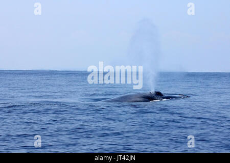 Pygmy Blue Whale or Great Indian Blue Whale (Balaenoptera musculus indica) off Trincomalee, coming up to take a breath right next to the boat - Stock Image