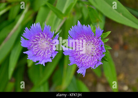 Stokesia Laevis 'Blue Star' in close up in a cottage garden - Stock Image