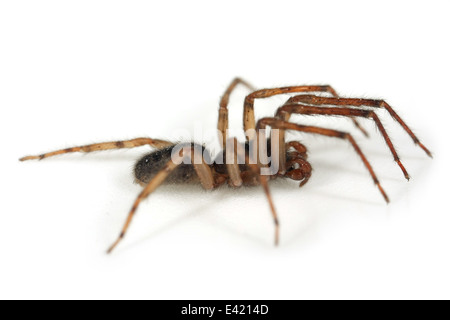 Male Snake-back spider (Segestria senoculata), part of the family Segestriidae - Tunnel spiders. Isolated on white - Stock Image