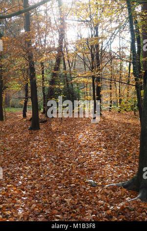 Burnham Beeches in autumn - Stock Image