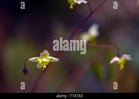 Epimedium pinnatum colchicum Black Sea,flowers,woodland,perennials,barrenwort,shade,spring,shady,shaded,RM Floral - Stock Image