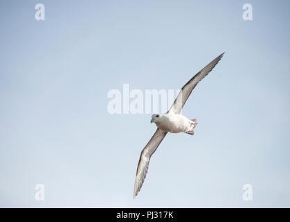 Fulmar, (Fulmarus glacialis), Northern Fulmar or sometimes Arctic Fulmar, in flight, Whitby coast, Yorkshire, British Isles - Stock Image