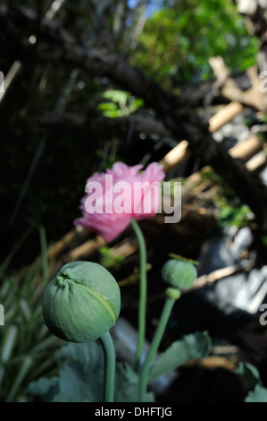 Unopened bud of Peony form Opium Poppy (Papaver somniferum), variety Breadseed, with opened flower and seed head out of focus - Stock Image