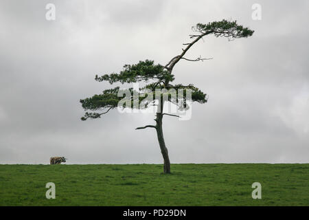 Tree on horizon with cow in the background in field. Devon, England, UK, Europe - Stock Image
