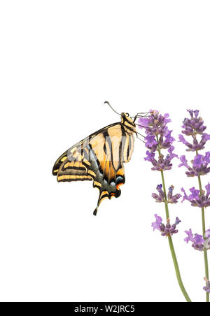 Side view of a western tiger swallowtail butterfly (Papilio rutulus)  - on a white background - Stock Image