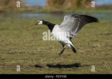 A Barnacle Goose coming in to land on a field during its winter migration from Svalbard to the Solway Firth, Scotland - Stock Image