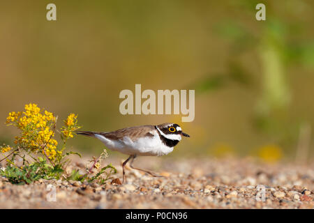Little ringed plover (Charadrius dubius), male runs over the gravel bank, Middle Elbe Biosphere Reserve, Saxony-Anhalt, Germany - Stock Image