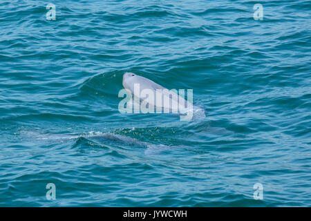 Indo-Pacific Finless Porpoise (Neophocaena phocaenoides) surfacing in Hong Kong waters - Stock Image