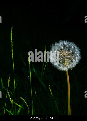 A very detailed close up of a white circular dandelion seed head, also know as a dandelion clock with a long stem and a black background, on the left - Stock Image