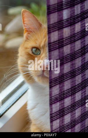 Domestic ginger cat sitting on the window sill partially hidden by window blind - Stock Image