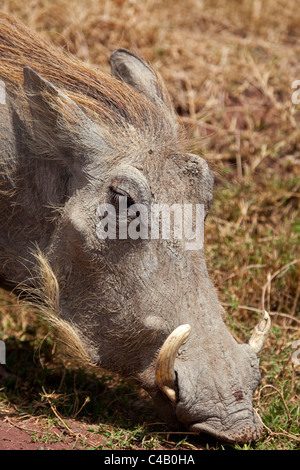 Tanzania, Ngorongoro. A warthog portrait. - Stock Image