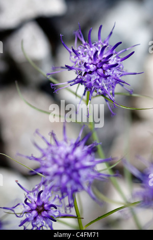 Selective focus image of a blooming blue Phyteuma orbiculare. - Stock Image