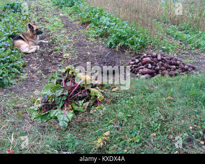 Harvested and cut leaves red beets on garden - Stock Image
