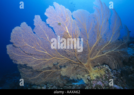 Diver and Gorgonian sea fan in the Western Pacific - Stock Image