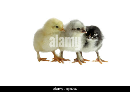 Three color variants of the French Copper Maran chickens / chicks cuddling together and isolated over a white background. Splash, Blue and Black - Stock Image