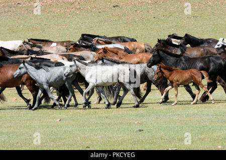 A herd of horses herded by a nomad and his son on a motorcycle - Stock Image
