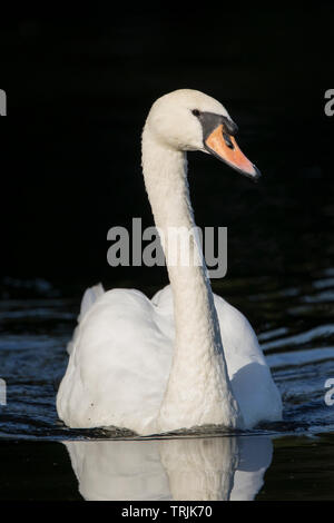 Detailed, portrait, close-up front view of a wild, British mute swan (Cynus olor) isolated in autumn sunshine, swimming in water, UK. - Stock Image