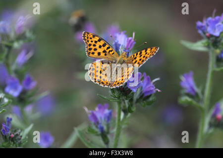 Queen of spain fritillary Feeding on vipers bugloss Hungary June 2015 - Stock Image