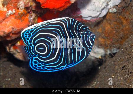 Emperor Angelfish, Pomacanthus imperator, juvenile.Tulamben, Bali, Indonesia. Bali Sea, Indian Ocean - Stock Image