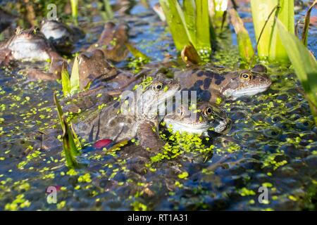 Hailsham, UK. 27th Feb 2019. UK weather.  Common Frogs (Rana Temporaria) are surrounded by frogspawn pictured today in a garden pond in Hailsham, East Sussex, UK. Credit: Ed Brown/Alamy Live News - Stock Image