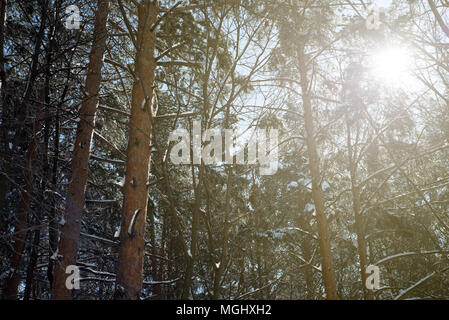 Warm golden sunshine shines through the branches of pine and fir forest trees in the midst of a icy cold winter with fresh snowfall covering the trunk - Stock Image