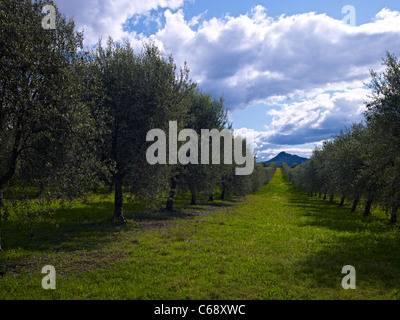 Olive grove Hunter Valley NSW Australia - Stock Image