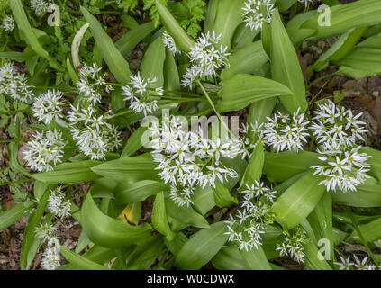 Blooming Ramsons (Allium ursinum) - Stock Image