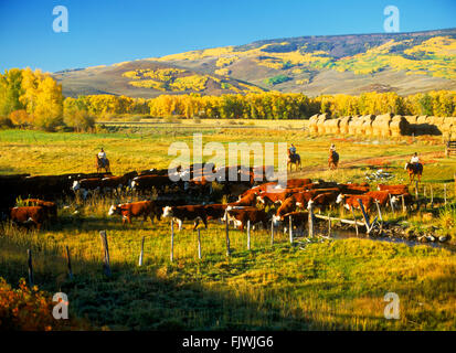 Cowboys on horseback herding cattle into corrals on ranch at Ohio Creek in autumn neat the Rocky Mountains of Colorado - Stock Image