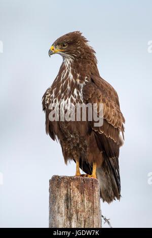 'Common buzzard; common buzzard; Buteo buteo', Mäusebussard; Maeusebussard; (Buteo buteo) - Stock Image