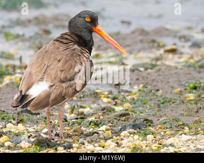 American Oystercatcher - Stock Image