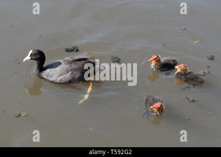 Coot (Fulica atra) with three young chicks (cute baby birds) on the water, UK, during spring - Stock Image
